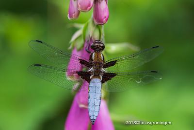 Insecten Libellen