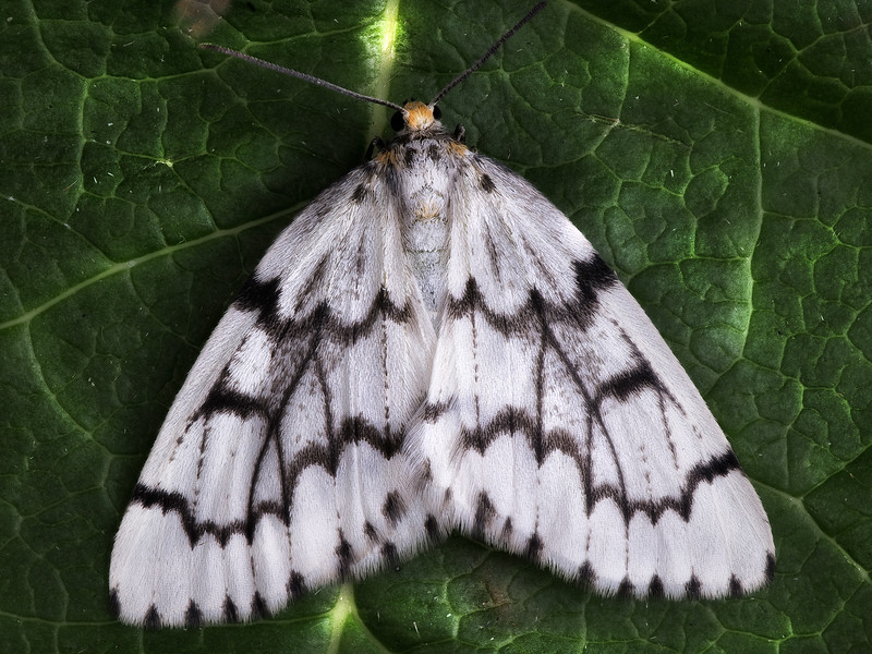 Phantom Hemlock Looper Moth