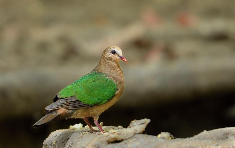 Emerald-dove-andaman.jpg