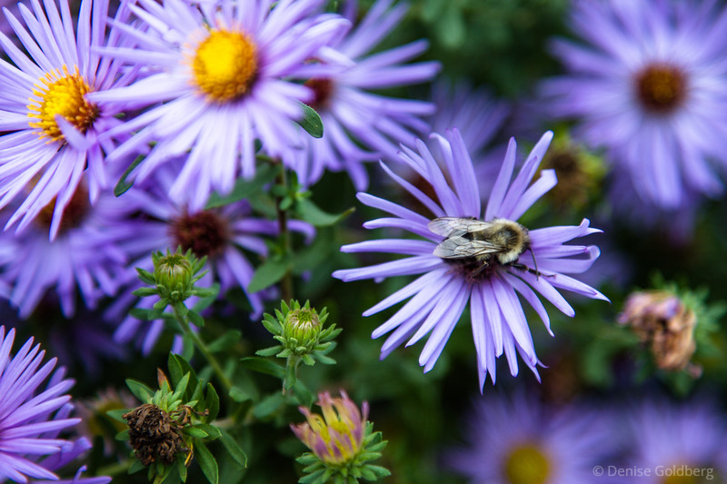 late in the flower season, a bee at rest