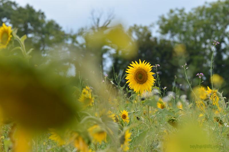Sunflower Lonay_20092020 (32).JPG