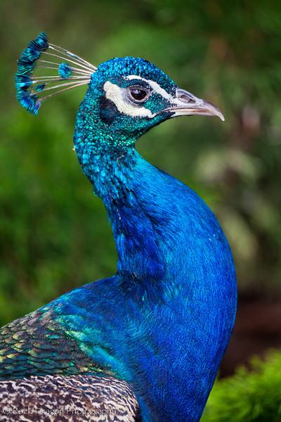 A Peacock at the Calgary Zoo.