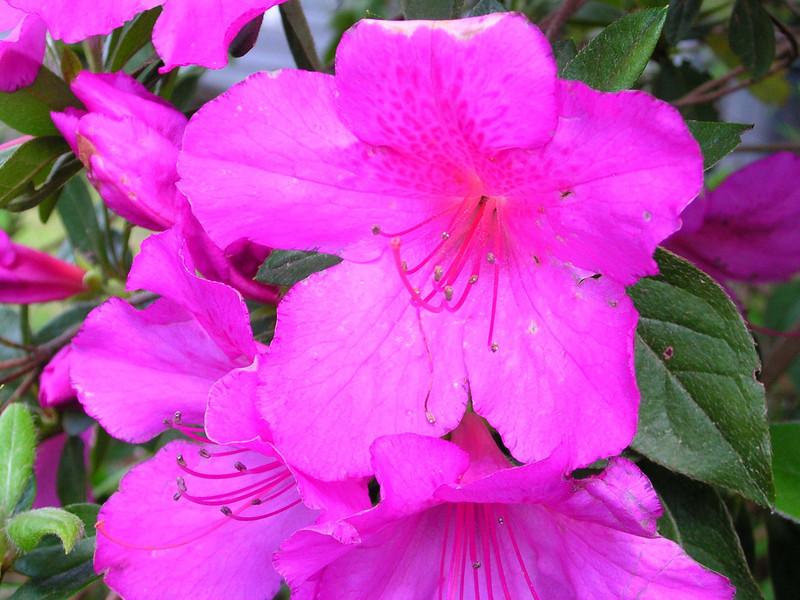 carolina flower 100.jpg