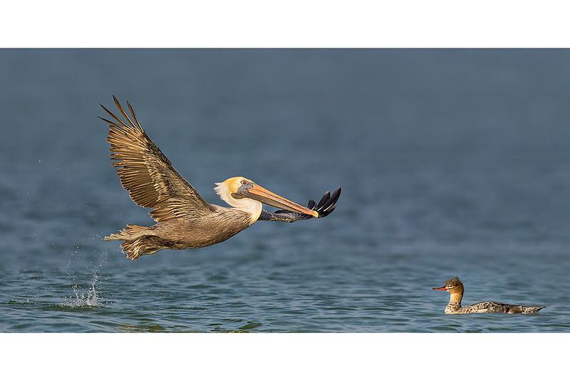Pelican's Elegance