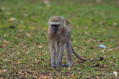 Vervet Monkey in Kasane