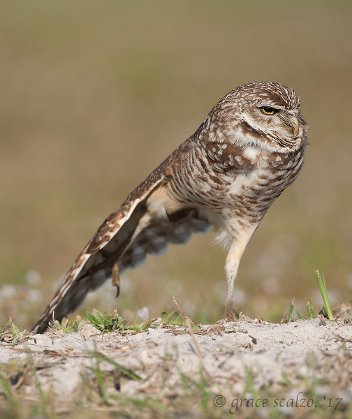 Burrowing Owl Stretching