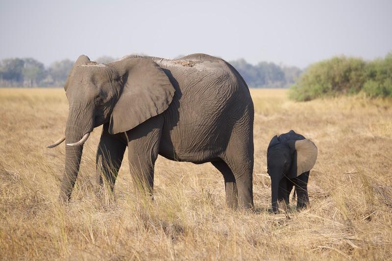 elehphants end of day, Shinde camp, Botswana
