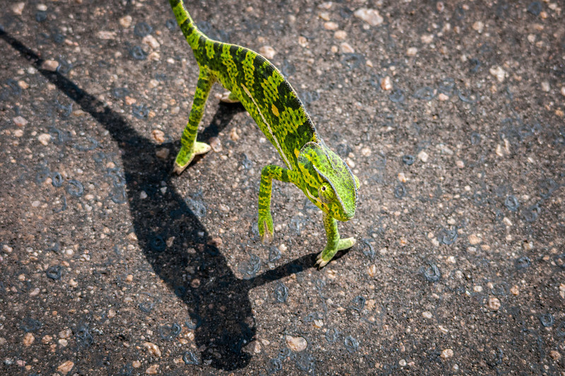 A chameleon in Kruger National Park
