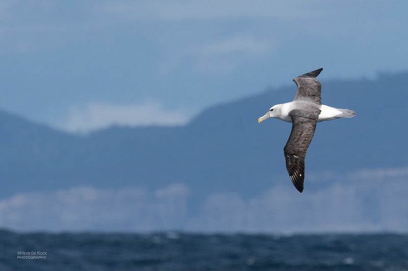 Shy Albatross, Eaglehawk Neck Pelagic, TAS, Dec 2019-2.jpg