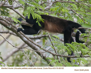 Mantled Howler A86193.jpg