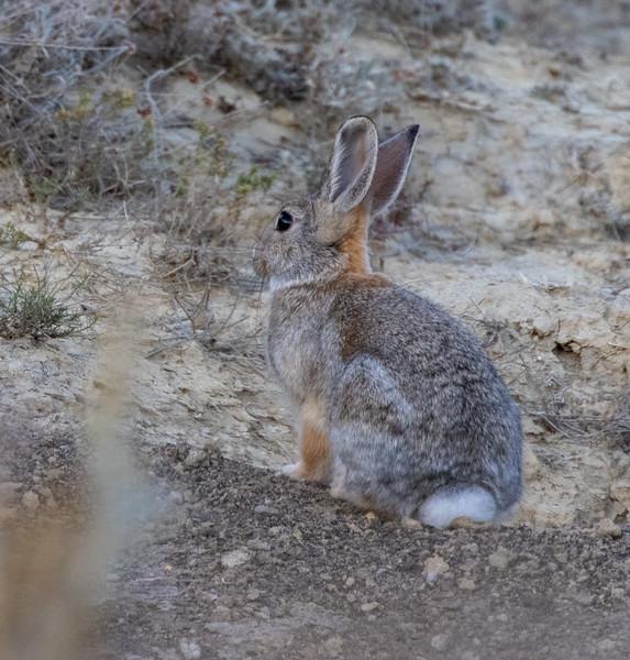 Cottontail rabbit Theodore Teddy Roosevelt National Park Medora ND IMGC0717-2.jpg