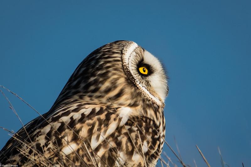 Owl Profile