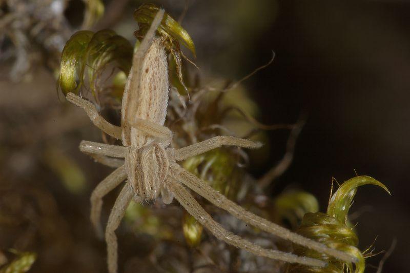 Small spider Tamron 90 2.8 sp + Kenko MC7 2x Teleconverter