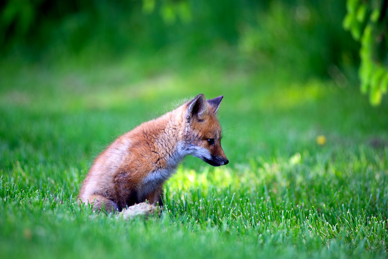 FoxKitProfile.jpg