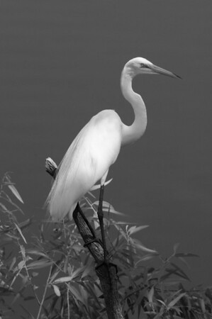 White Egrets in Florida