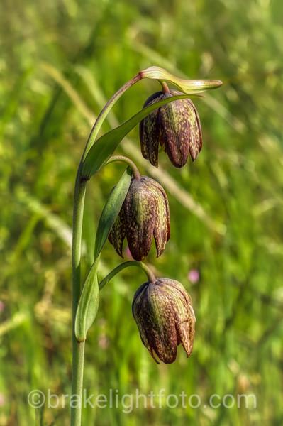 Chocolate Lily - Fritillaria biflora