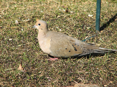 20070323  Mourning Dove