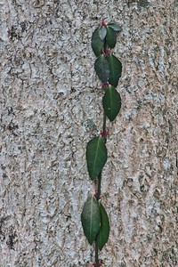 Tree Leaf Detail