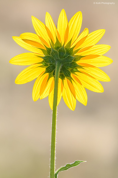 The Beauty of a backlight Sunflower