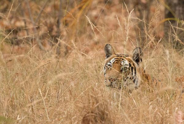 Bandhavgarh National Park 2016