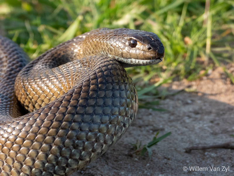 20190908 Mole Snake (Pseudaspis cana) from Milnerton, Western Cape