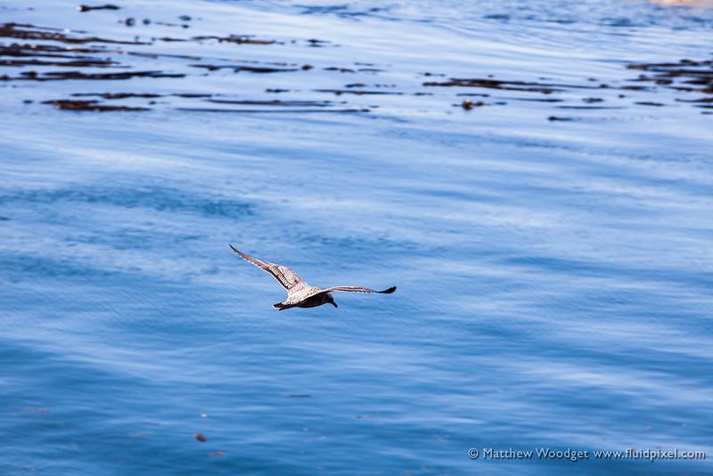 Woodget-140817-049--gull, ocean - water, sea bird, seaweed.jpg