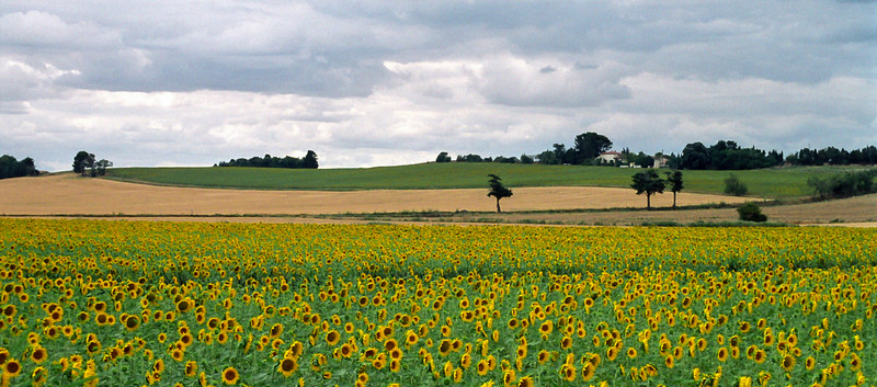 Sunflower Field near  Canal de Midi, France