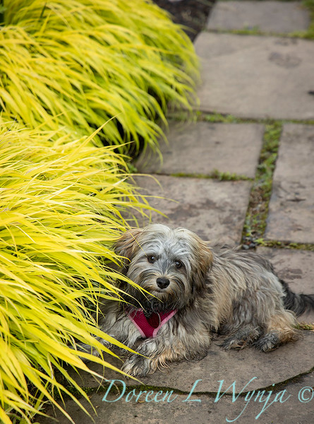 Hakonechloa macra 'All Gold' - 'Bear' the Havanese along the garden path_6982.jpg