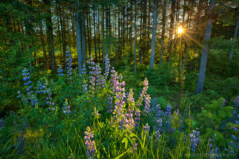 Lupines blooming near Snoqualmie, Washington