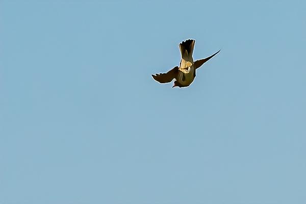 Skylark Descending 2347--2.jpg