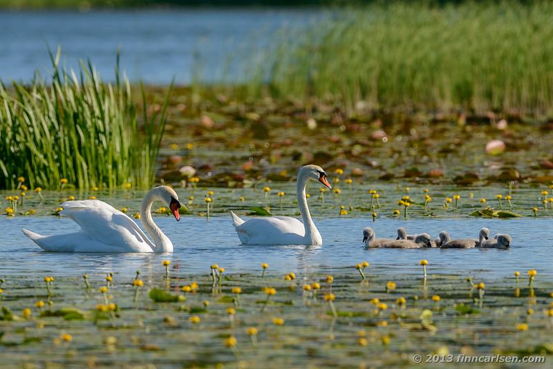 Knopsvane (Mute Swan - Cygnus olor)