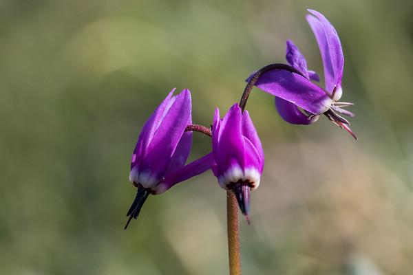 Wildflowers of Alaska