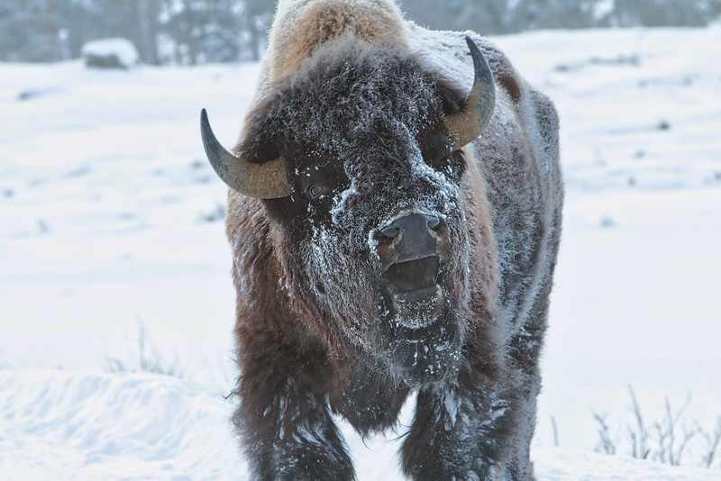 talking bison.jpg