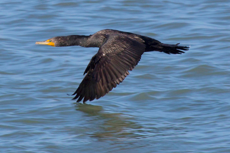 A cormorant barely skims the water.  This close to the surface, he coasts on a cushion of slightly compressed air.