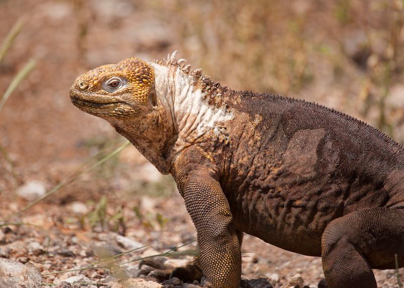 Land Iguana, Galapagos Islands