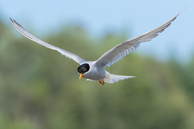 Black fronted Tern (Tara)