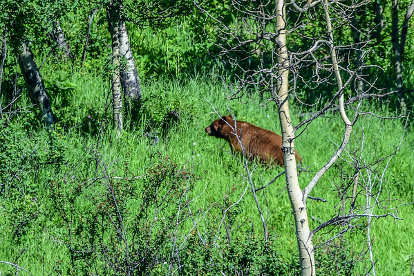 6-24-15 Brown Bear