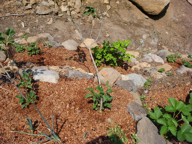 New Lilac plantings in front, Raspberry and Blackberry in back. 6-25-2008