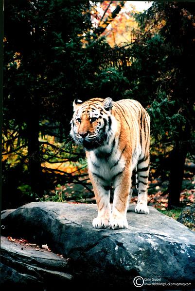 tiger WM.jpg