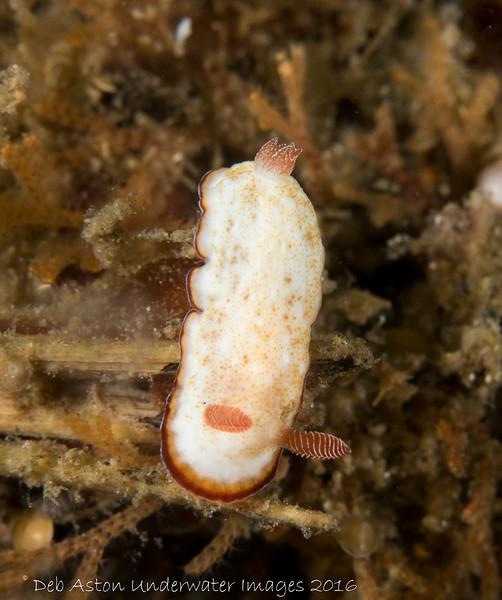 Goniobranchus preciousus