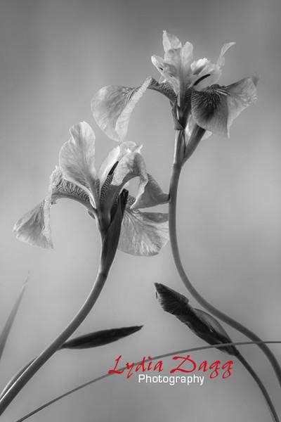Iris Impact bw, #5651