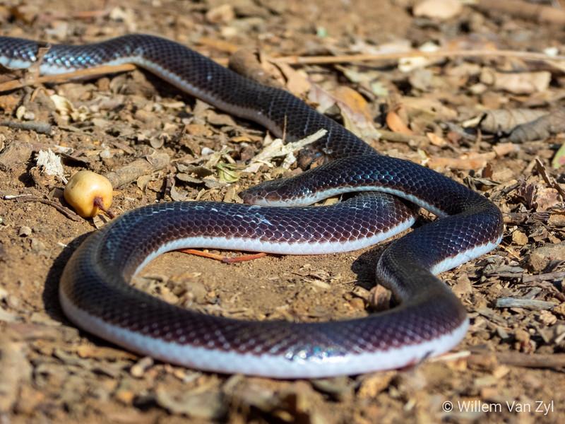 20190803 Stiletto Snake (Atractaspis bibronii) from Gauteng