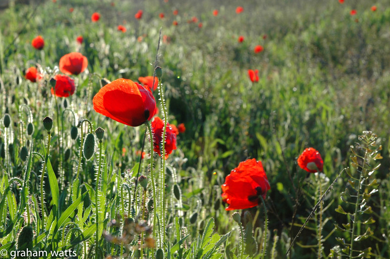 20050415-24_poppy_field_red.jpg
