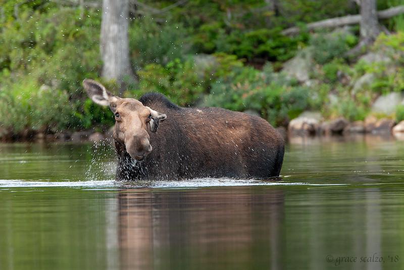 Moose cow shaking