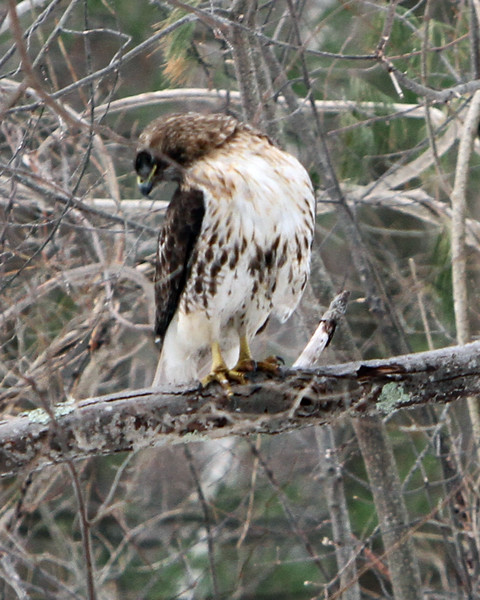 Red-tailed hawk Chelmsford 031419