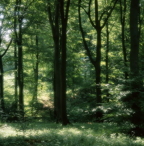 Beech forest in spring