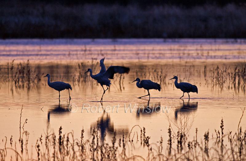 Sandhill Cranes, Grus canadensis, Morning, Bosque del Apache National Wildlife Refuge, New Mexico, USA, North America