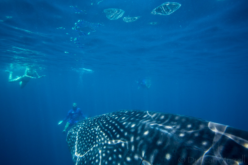 swimmers with a whale shark