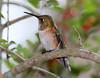 Rufous Hummingbird PSE IMG_4117