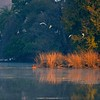 Tiger swimming across the Rajbagh lake in Ranthambhore national park, on a cold winter morning